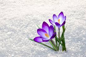 Grazie Mio Dio | Fiore neve